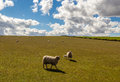 Sheep in Green Field with Blue Sky Royalty Free Stock Photo