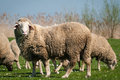Sheep in green meadow spring Royalty Free Stock Image