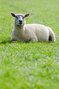 Sheep on the green meadow a white lies a Stock Image