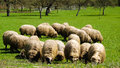 Sheep on a green pasture Stock Image