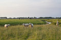 Sheep on green pasture