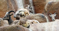 Sheep group of female desert bighorn sitting on ledge Stock Photos
