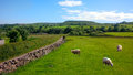 Sheep in haslingden grange england uk grasing Royalty Free Stock Photography