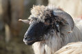 Sheep head close up of a domestic Royalty Free Stock Photos