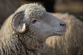 Sheep head close up of a domestic Royalty Free Stock Photography