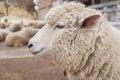 Sheep head close up. Farm animals. Royalty Free Stock Photo