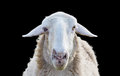 Sheep head front view of on black Royalty Free Stock Photos