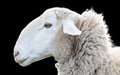 Sheep head Royalty Free Stock Photo