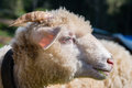 Sheep head side view of ram eating grass shallow depth of field s eye is perfectly sharp Stock Image