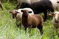 Sheep heard Royalty Free Stock Photo