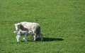 Sheep her lamb in springtime on new zealand farm feeding the spring sunshine a north canterbury Royalty Free Stock Photo