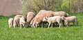 Sheep herd on the field Stock Images