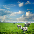 Sheep herd at green field summer Stock Photo