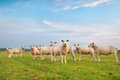 Sheep herd on green pasture over blue sky holland Royalty Free Stock Photography