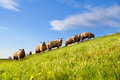 Sheep herd on green sunny pasture over blue sky Stock Photos
