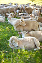 Sheep herd, many sheeps on the field Stock Images