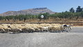 Sheep herd Royalty Free Stock Photo