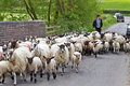 Sheep herding toddington uk may a shepherd drives his flock of lambs from behind down a narrow lane into a new field for grazing Stock Photography