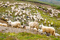 Sheep herds at alpine pastures Royalty Free Stock Photo