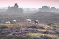 Sheep on hill with flowering heather Royalty Free Stock Photo