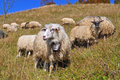 Sheep on a hillside. Stock Photos