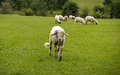 Sheep horde on green pastures Royalty Free Stock Photos