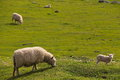 Sheep on the horizon new zealand Stock Photography