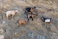 Sheep with horns climbing on mountain over Agia Theodoti beach I Royalty Free Stock Photo