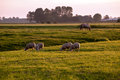 Sheep horse pastoral sunrise Royalty Free Stock Photo