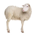 Sheep isolated on white background Stock Image
