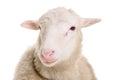 Sheep isolated on white Royalty Free Stock Photo