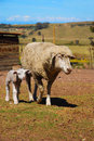 Sheep with lamb Royalty Free Stock Images