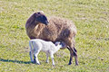 Sheep and lamb while feeding her Royalty Free Stock Image