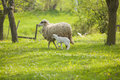 Sheep and lamb on green field Royalty Free Stock Photos