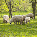 Sheep and lamb on green field Royalty Free Stock Photo
