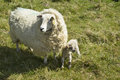 Sheep and lamb mum baby on sunny spring day in countryside Stock Images