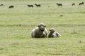Sheep with lamb resting Royalty Free Stock Photo