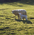 Sheep & Lamb - Wales - UK Royalty Free Stock Photo