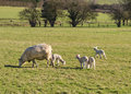 Sheep and lambs in Field Royalty Free Stock Photo