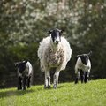 Sheep and lambs walkin in grass field Royalty Free Stock Photo