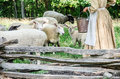 Sheep and lambs are getting fed their food. Royalty Free Stock Photo