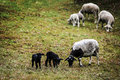 Sheep and lambs grazing in the meadow free Royalty Free Stock Photos