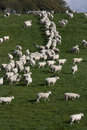 Sheep and lambs grazing in rural field Stock Photo