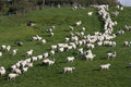 Sheep and lambs grazing in rural field Royalty Free Stock Photos