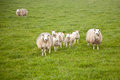 Sheep and lambs in meadow grassy holland Royalty Free Stock Images