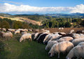 Sheep and lambs sheeps herd out at feed in the mountain Stock Images