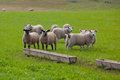 Sheep on the landscape taken in scotland england Royalty Free Stock Photos