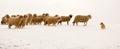 Sheep leading a dog Royalty Free Stock Photo