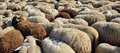Sheep livestock farm herd of Royalty Free Stock Photography