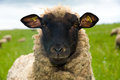 Sheep is looking in to the camera Royalty Free Stock Photos